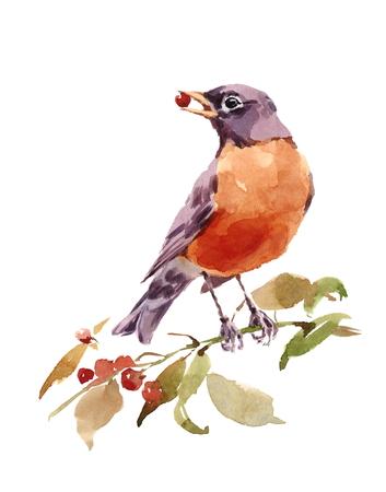 Waterverfvogel Amerikaanse Robin op de Tak met Bessenhand Geschilderde Illustratie die op witte achtergrond wordt geïsoleerd Stockfoto