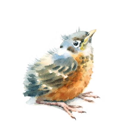 Baby Bird American Robin Watercolor Hand Painted Illustration Isolated on white background