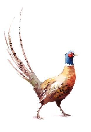 De Vogelhand Geschilderde Illustratie van de fazantwaterverf op witte achtergrond wordt geïsoleerd die Stockfoto