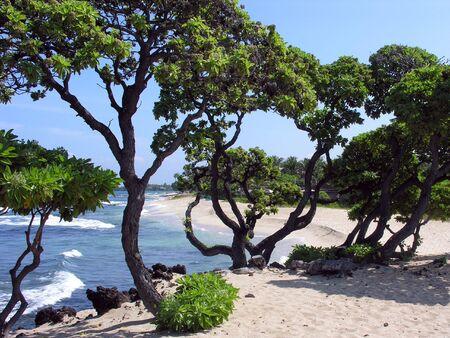Beautiful Wedding Tree on hawaiian beach with ocean in background