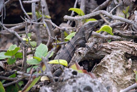 Iguana sunning on Mexican cliff