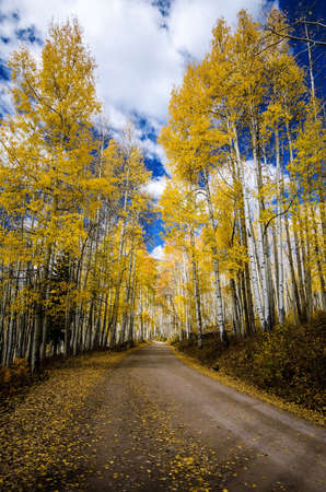 aspen leaf: The road along Ohio pass is surrounded by yellow aspen trees Stock Photo
