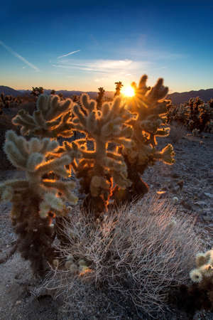 Golden light shines on the Cholla cactus garden at sunrise, Joshua Tree National Park Stock Photo - 17588181