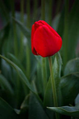 skagit: Red Tulip in Skagit tulip festival, Washington