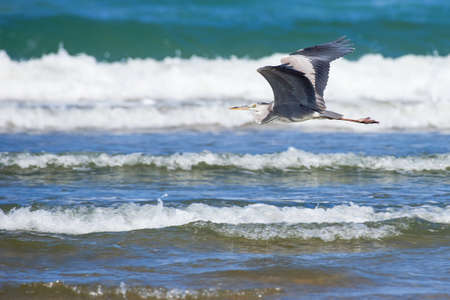 black headed: Black headed heron flying low over the waves Stock Photo