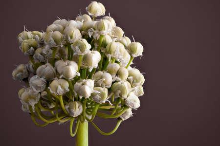 glower: Spring Onion glower turning to seeds