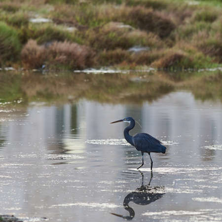 wading: Black headed egret wading in a marsh Stock Photo