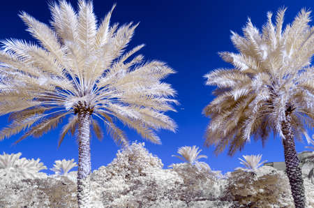 infra: Infra red photo of date palms and a blue sky