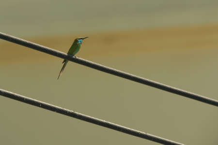 eater: Little green bee eater perched on a power line Stock Photo