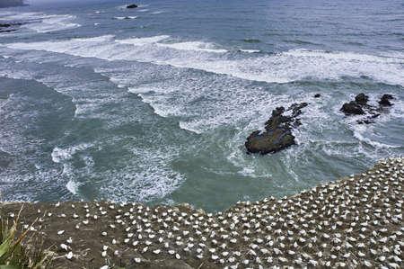 aotearoa: Gannets colony atop a cliff against a backdrop of a beautiful aquamarine ocean at Muriwai Beach New Zealand