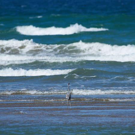 black headed: Black headed heron standing in the surf looking at the ocean