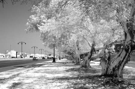 infrared: Monochrome infrared image of a tree lined street