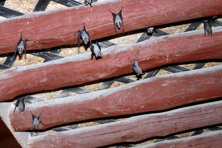 rafter: Bats hanging upside down from the ceiling Stock Photo