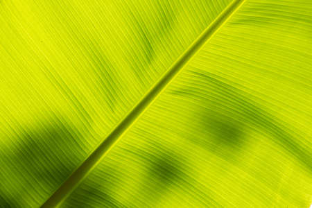 underside: Underside of a banana leaf backlit by the sun Stock Photo
