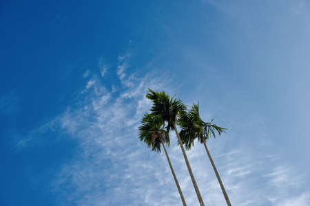 A clump of three betel nut trees against a blue sky with clouds Stock Photo