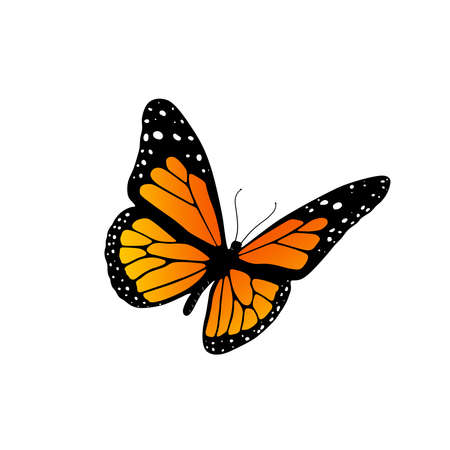 butterfly: Monarch butterfly Stock Photo