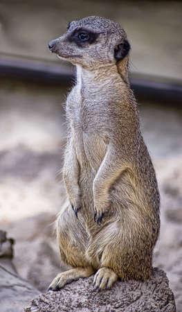 suricate: Portrait of a suricate Stock Photo