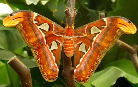snakehead: Snakehead Moth