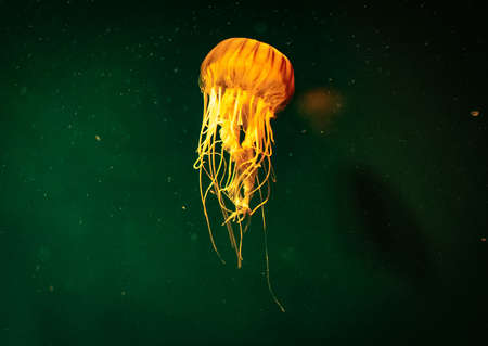 Beautiful jellyfish with a green background from the sea