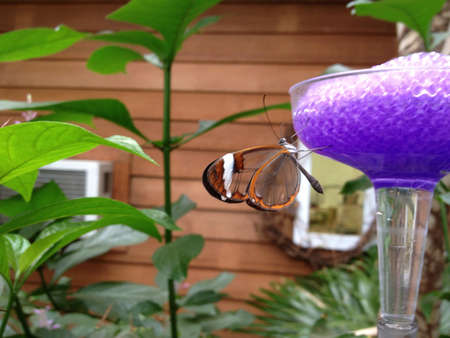 butterfly stationary: Glasswing butterfly on purple feeder Stock Photo