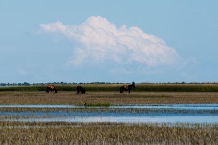 wild horses feeding in the wetlands Stock Photo - 7772768