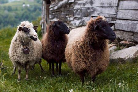 Three sheeps looking left 版權商用圖片 - 37405655
