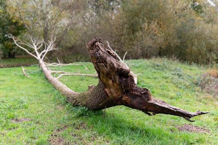 Tree fallen after storm in the field