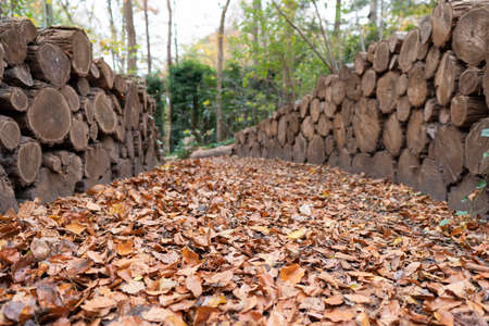Forest road full with fallen leaves. Heap cutting wood both side. Autumn time. Stock Photo