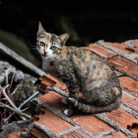Samui Cat Stock Photo