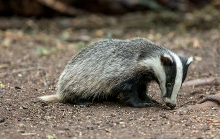 Badger, young, wild, native badger sat in natural woodland setting eating peanuts.