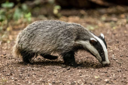 Badger, wild, native, European badger, facing right with sunlight on her tail in natural woodland setting. Stock Photo
