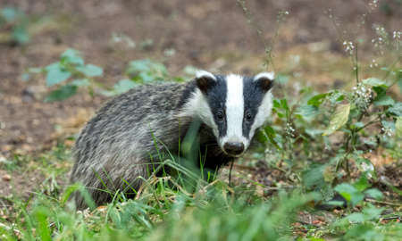 Badger, young badger cub facing forward in natural woodland habitat.