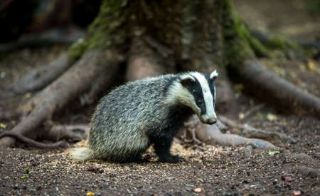 Badger, wild, European badger cub sat next to peanuts in natural woodland habitat.