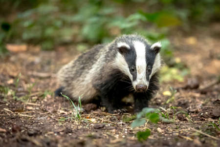 Badger, native, wild, European badger in natural woodland habitat. Stock Photo