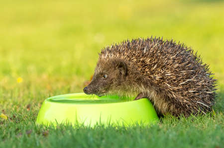 Hedgehog, wild, native, European hedgehog drinking water from a green bowl. Stock Photo