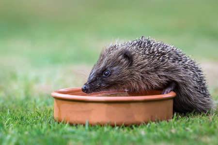 Hedgehog, wild, native, European hedgehog drinking water from a terracotta bowl.