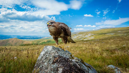Buzzard, common buzzard on Cumbrian fells in the England Lake District.