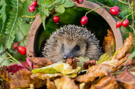 Hedgehog, wild, native, European hedgehog in Autumn with golden leaves and red rosehips.