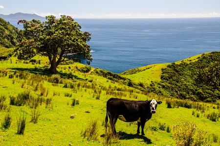 Cow and Christmas Tree at Coromandel Coastal Walkway with blue sky above and at Coromandel Peninsula, Northland, New Zealand