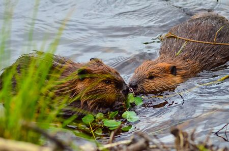 Closeup photo of beavers eating in the lake, Tripple lakes trail, Denali National park and Preserve, Alaska, United States, North America.