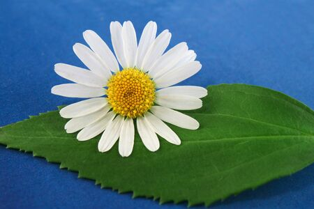 breezy: Composition of white marguerite flower and a leave on blue, grain background