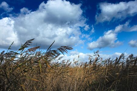 Reeds blowing in the wind and gorgeous blue sky photo