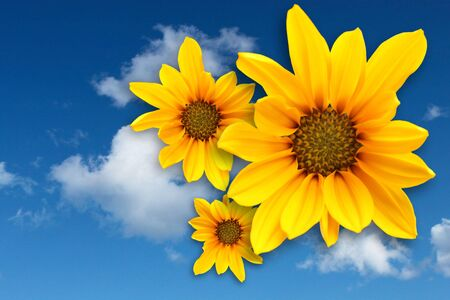 breezy: Yellow marguerite on blue sky background