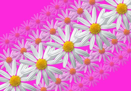 White marguerite flowers pattern on rosy background  photo