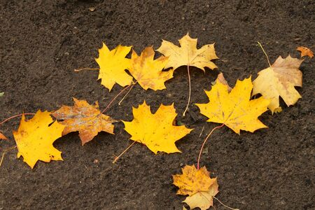 Colorful fall maple leaves on the ground photo