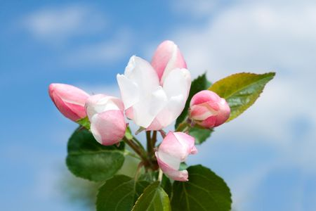 Pink apple flowers and blue sky photo
