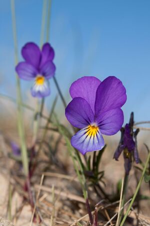Wild pansy flowers close up. photo