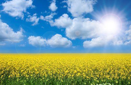 słońce: Latem krajobrazu rzepaku zÅ'ożony i doskonaÅ'a bÅ'Ä™kitne niebo z chmury.  Zdjęcie Seryjne