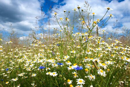 marguerite: Summer landscape, marguerite daisy flowers field and perfect blue sky.