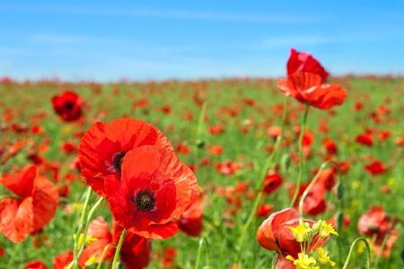 gelincikler: Summer landscape, wild poppy flowers field. Stok Fotoğraf